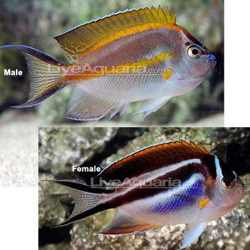 Www Liveaquaria Com Bellus Angelfish Reef Safe Peaceful 100gal Liveafquaria Says 125 They Always Seem Saltwater Aquarium Fish Angel Fish Aquarium Fish