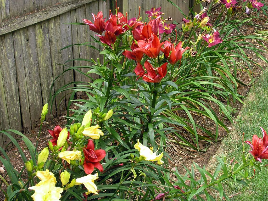 Growing lilies from bulbs how to care for lily flowers bulbs growing lilies from bulbs how to care for lily flowers izmirmasajfo Gallery