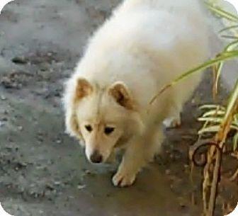 Los Angeles Ca Samoyed Meet Gracie A Dog For Adoption Dog Adoption Pets Kitten Adoption