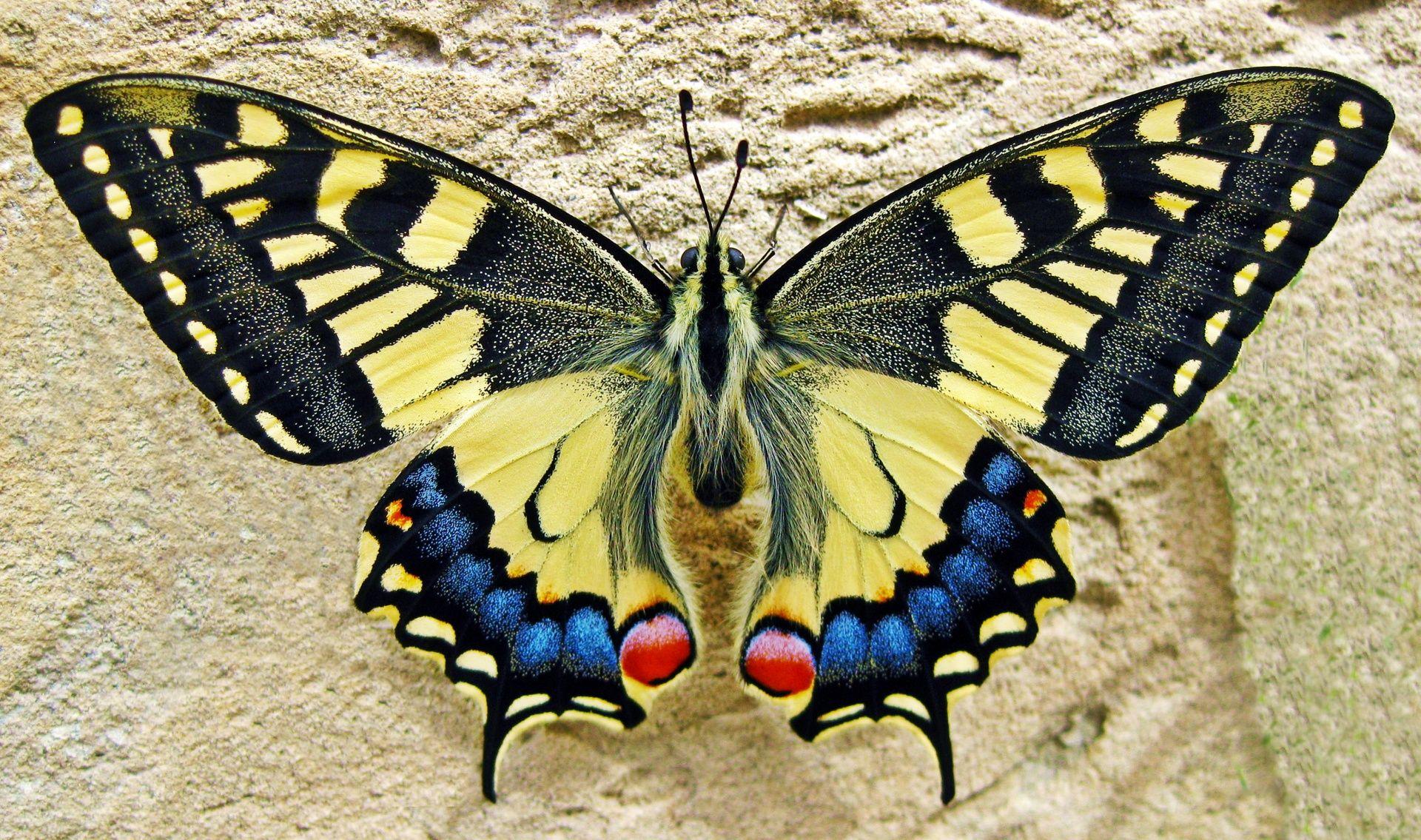 swallowtail butterfly lepidoptera pinterest butterfly moth