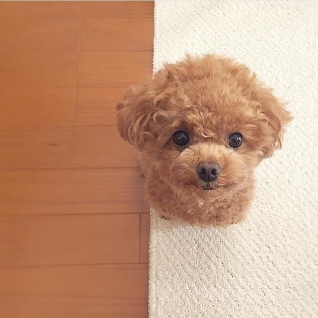 Wanted Puppy Stealing S Follow Us Poodles Petsagram For More Poodle Posts Video Credit Hu Cute Baby Animals Cute Dogs Cute Dogs And Puppies