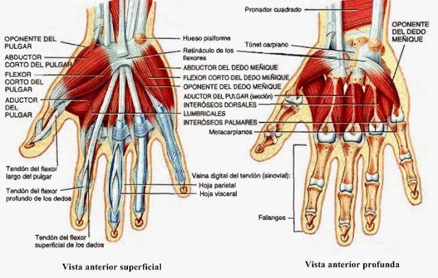 Músculos del miembro superior - Temas de estudio para la anatomía ...