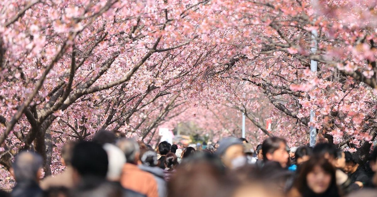 The Significance Of Cherry Blossoms In Japanese Art Culture Cherry Blossom Symbolism Cherry Blossom Meaning Cherry Blossom Japan