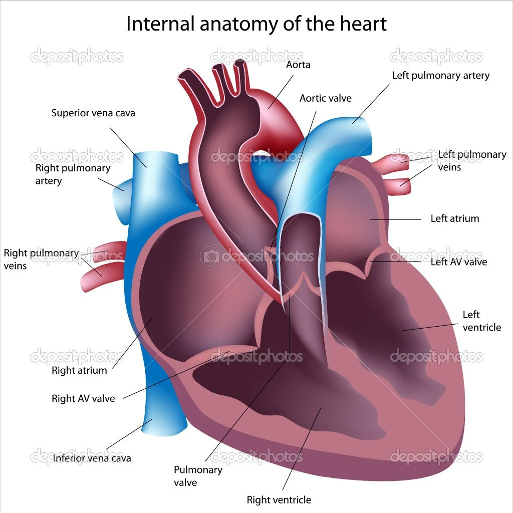 Heart Cardiovascular System General Knowledge Of Anatomy Of