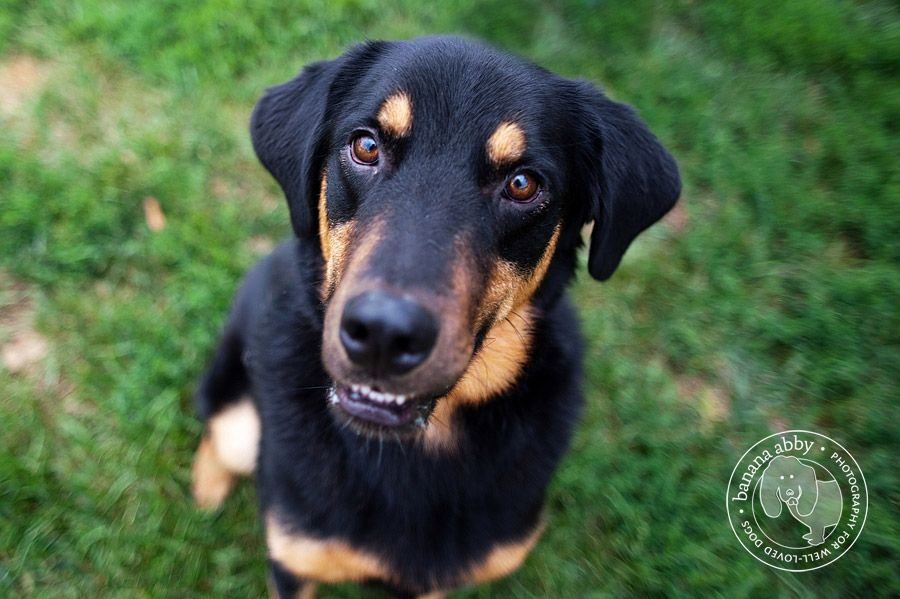 Lab Rottweiler Mix Rottweiler Mix Lab Mix Puppies Rottweiler