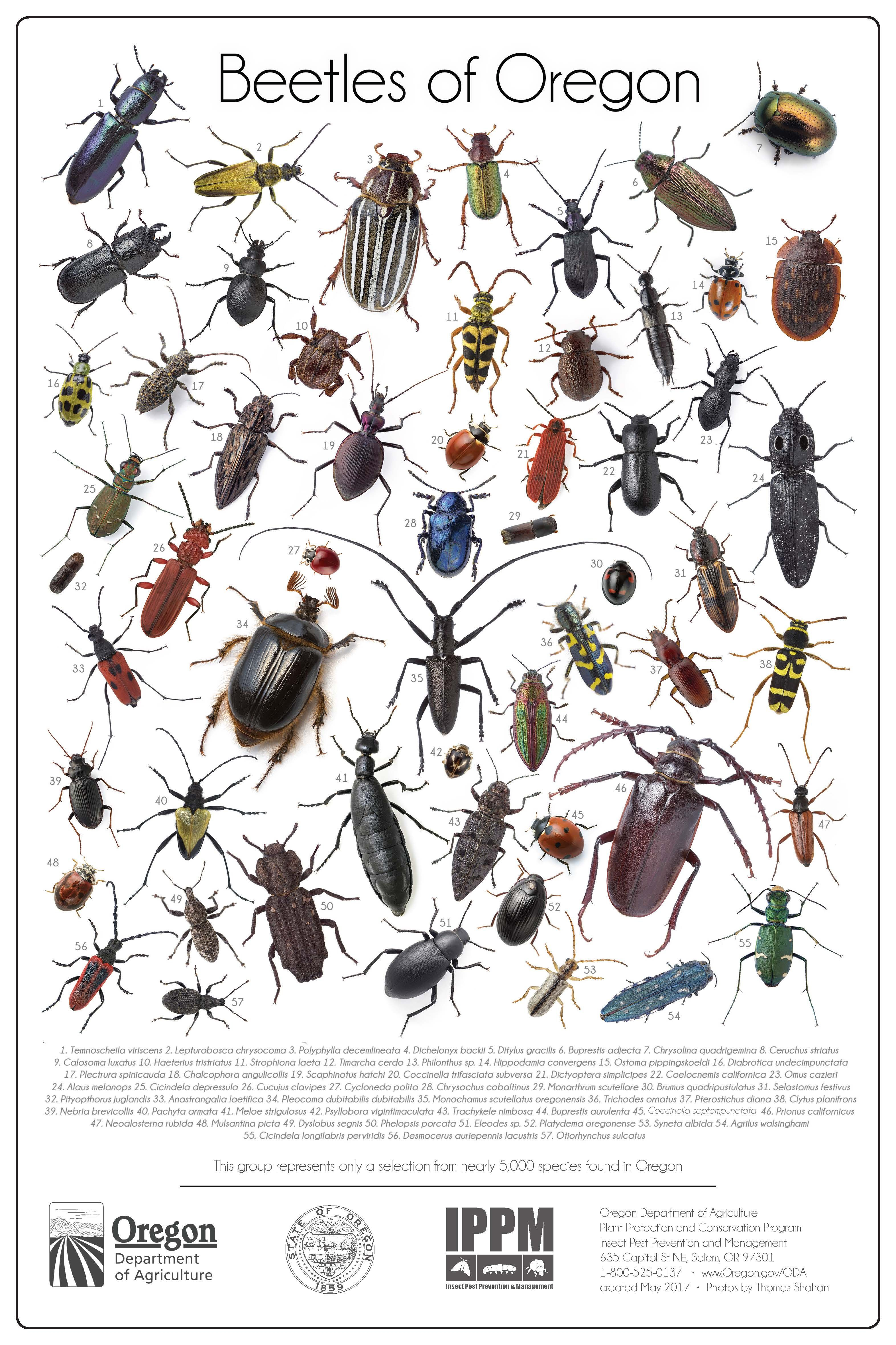 Beetles Of Oregon By The Oregon Department Of Agriculture Insect Pest Prevention And Management Beetle Insect Identification Cool Beetles
