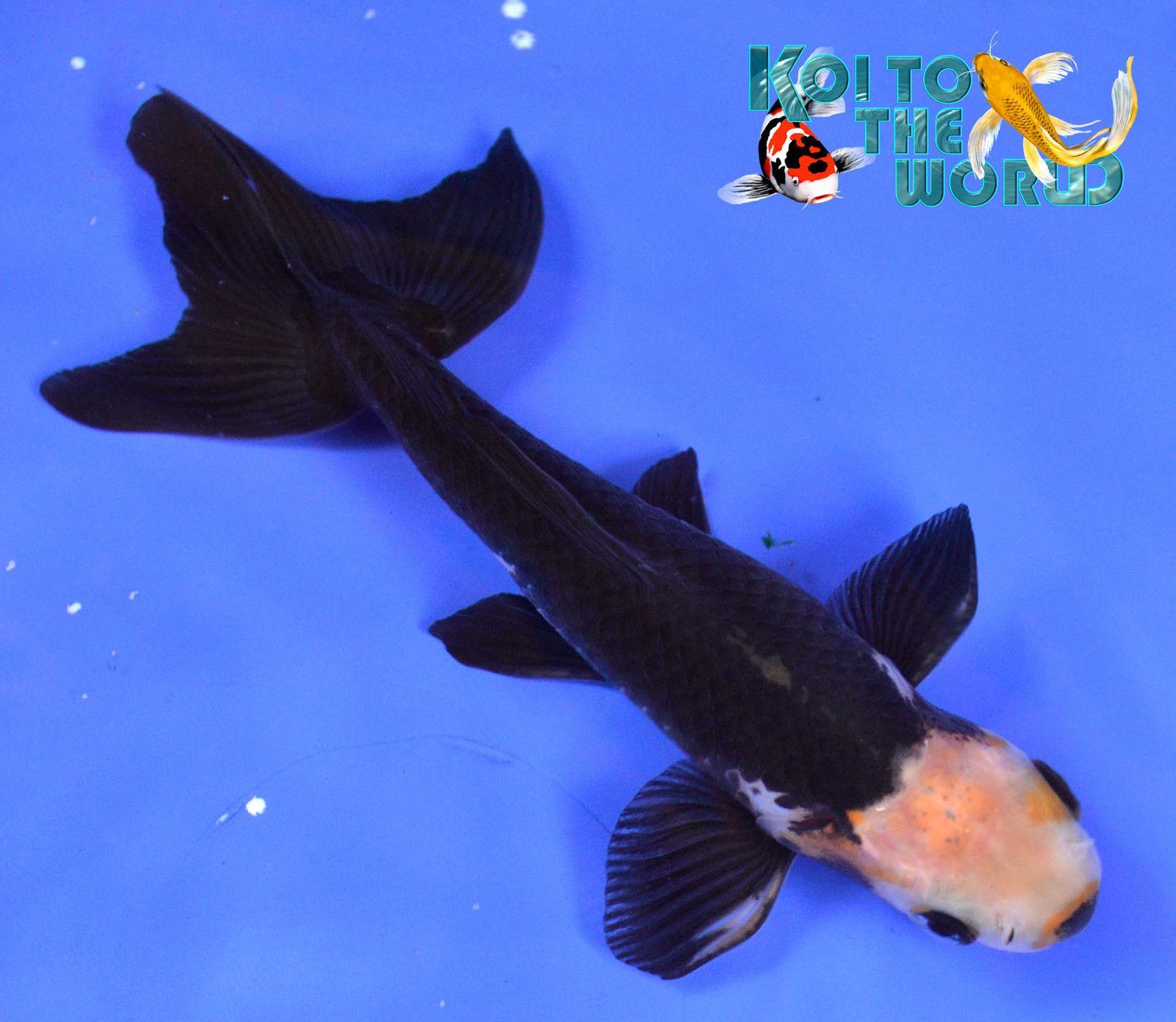 Black Opal Wakin Goldfish - DROOL!!! | Water garden