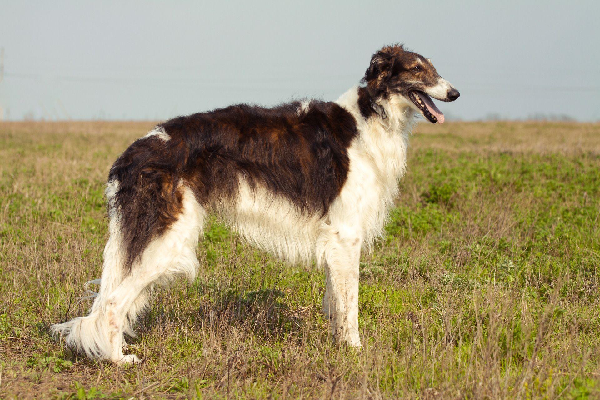 Pin By Sabine On Barsoi Russischer Windhund Borzoi Dog Dog Breeds Borzoi