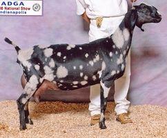 Lucas Farm What Are You Breeding Livestock For Pet Goat