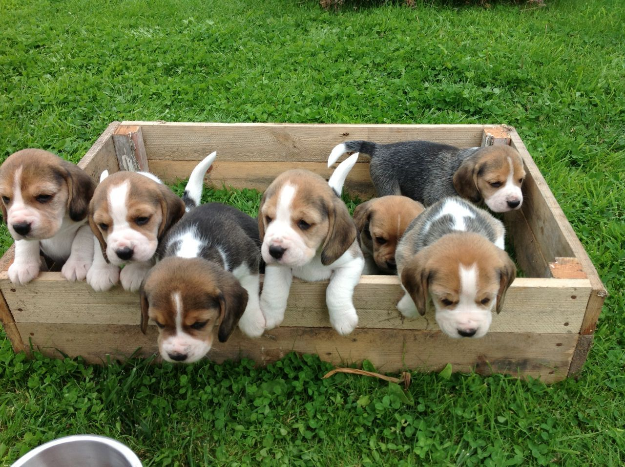 Beagles are loyal, friendly, and playful family dogs. They