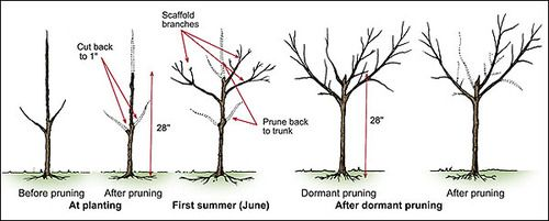 Peach Tree Pruning And Malabar Farms With Images
