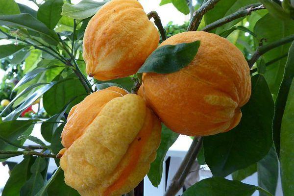 Non Solo Arance E Limoni La Riscoperta Degli Agrumi Antichi