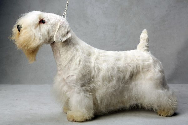 Nicholas the Sealyham Terrier. Nicholas, registered as Efbes Thunder Rd At Burberry, is owned by Lucie Tetreault, France Bergeron and Sarah Hawks. (Fred R. Conrad, a New York Times photographer, set up a studio at the 2013 Westminster Kennel Club dog show and invited Best of Breed winners to pose.)