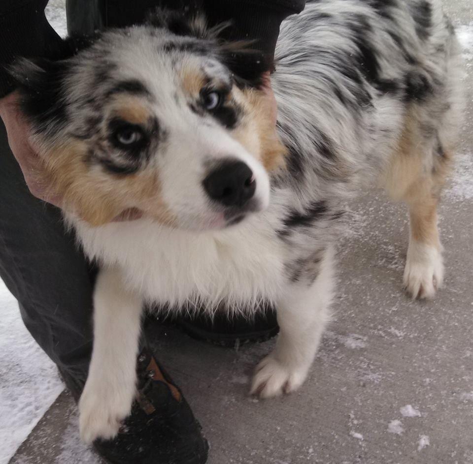 Pin By Us Lost Dog Registry On Australian Shepherds Us Lost Dog