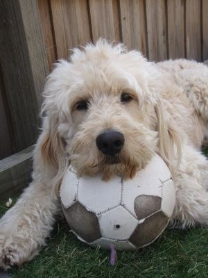 Monte The Groodle With Soccer Ball Goldendoodle Beautiful Dogs