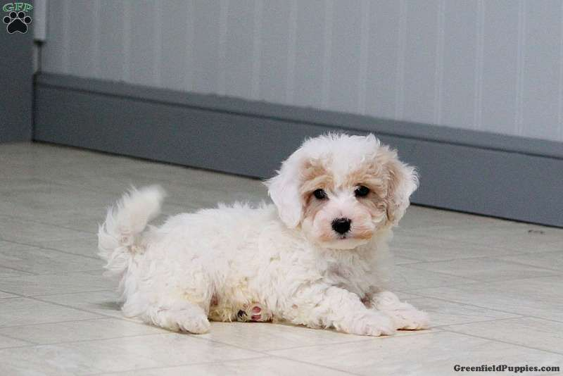 Texas Miniature Poodle Mix Puppy For Sale In Pennsylvania