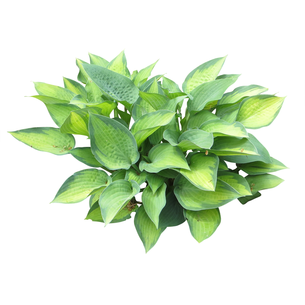 A Bright Green Small Hosta Plant Great Shrubbery For Your Garden