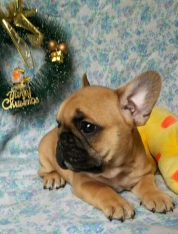 Litter Of 2 French Bulldog Puppies For Sale In Alexandria Va Adn