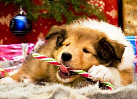 Christmas Joy Desktop Nexus Wallpapers Christmas Dog Merry Christmas Dog Dog Wallpaper Free christmas wallpaper with dogs