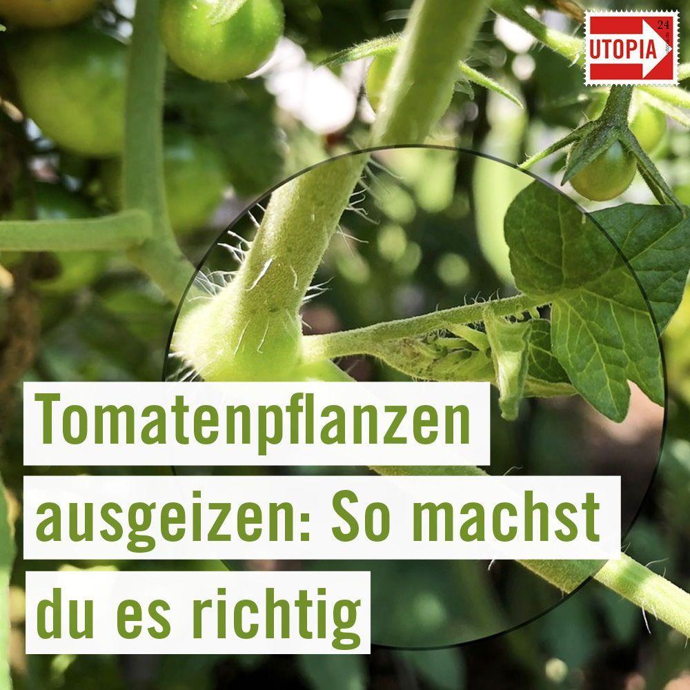 Tomaten ausgeizen So machst du es richtig   Utopia.de   Obstbäume ...