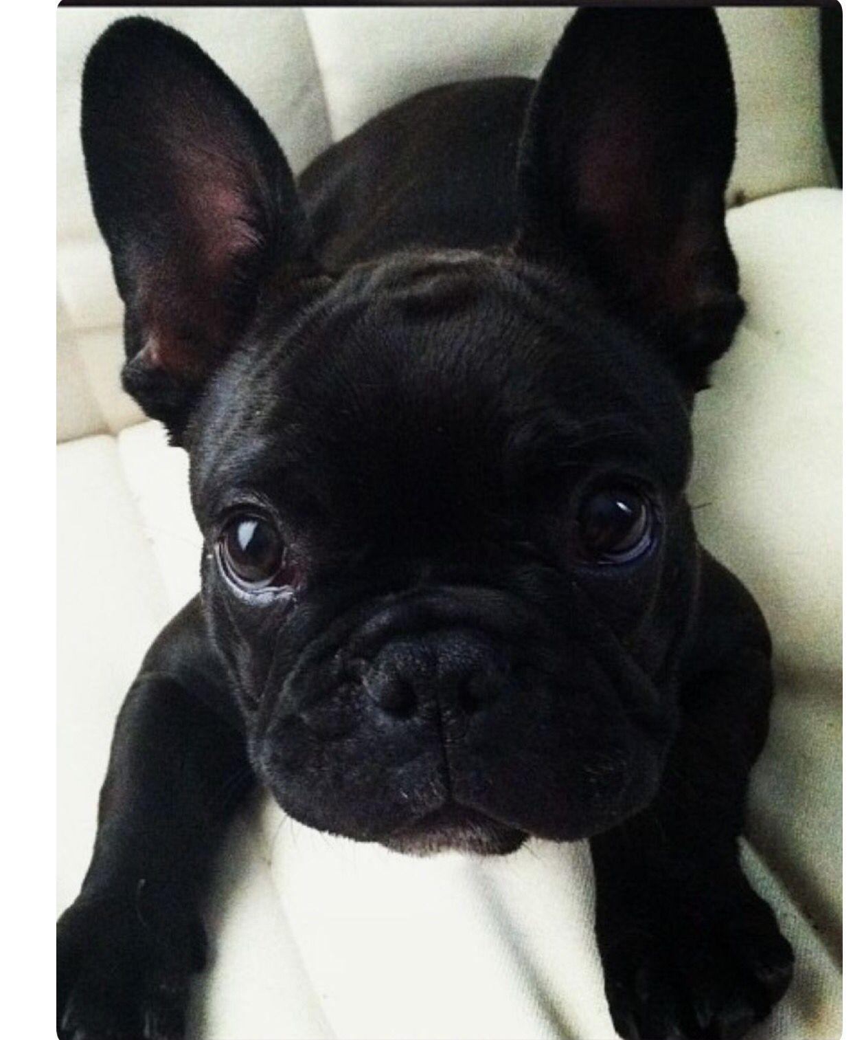 Look At That Soulful Expression French Bulldog Puppies Bulldog