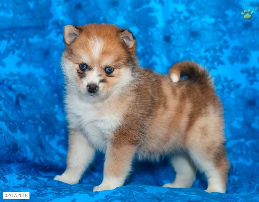 Pomsky Puppies For Sale Gauteng South Africa