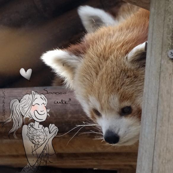 super fan of Red Pandas - by Tagadiane #redpanda #cute #tagadiane #illustration