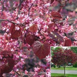Redbud forest pansy floriferous with burg heart shaped leaves forest pansy redbud beautiful landscape tree valued for its brilliant scarlet purple color to new foliage maturing to maroon rosy pink flowers on bare mightylinksfo