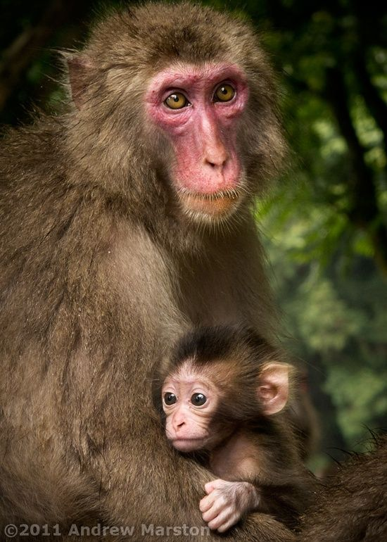 Japanese macaques (snow monkeys) Mother and Child - Japan Photos