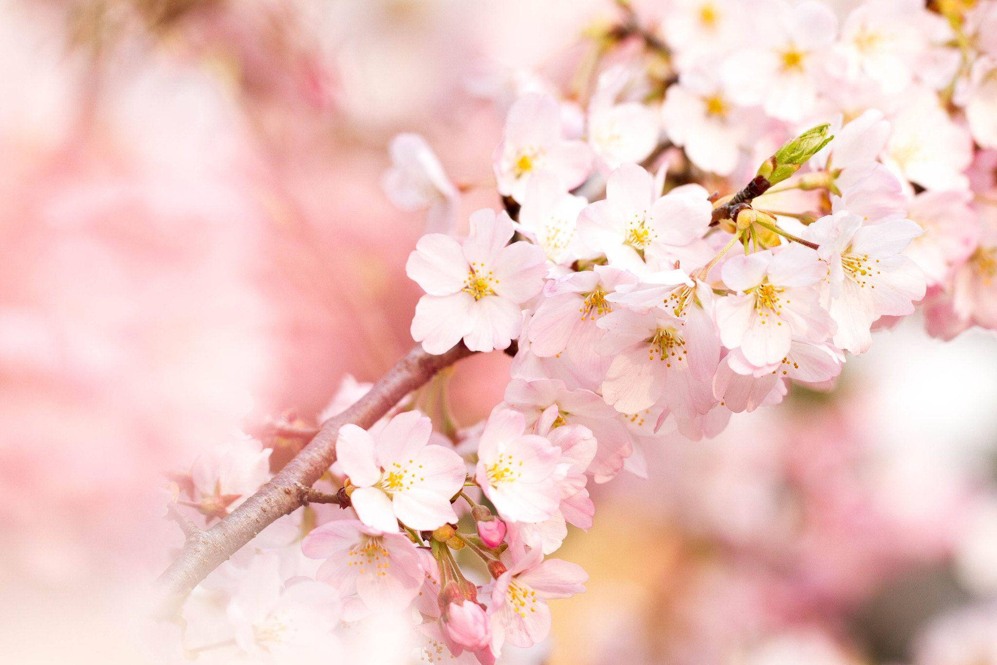 Cherry Blossom Sakura Null Cherry Blossom Sakura Blossom