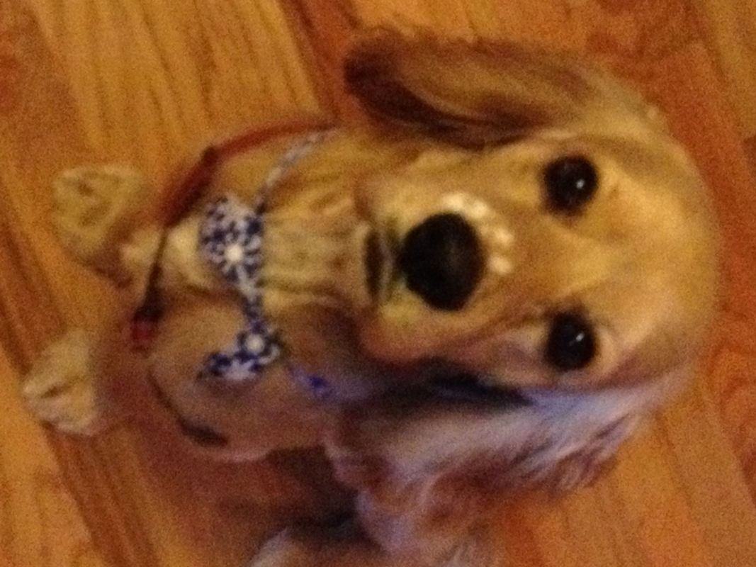 Adopt Louie Cl On Petfinder Golden Cocker Spaniel Beautiful Dogs Cocker Spaniel Dog