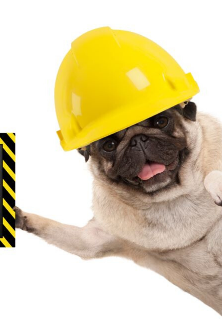 Frolic Smiling Pug Puppy Dog With Yellow Constructor Helmet Holding Up Black And Yellow Safety First Sign Board Isolated On White Pugs Dogs And Puppies Dogs
