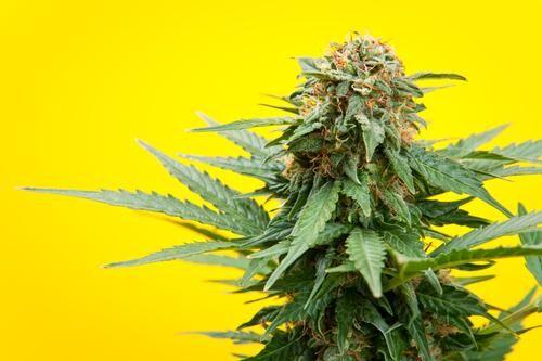 Pin by Raichel on #LegalizeMarijuana | Cannabis, Hemp