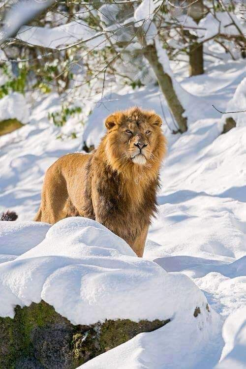 Amazing view  Grandes felinos Incluye a las cuatro especies de felino en el…