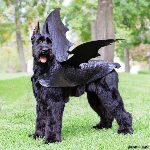 Pick Big Batty Dog Of The Day Dog Dragon Costume Dog Halloween