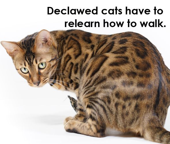 How Old Can A Kitten Be To Get Declawed