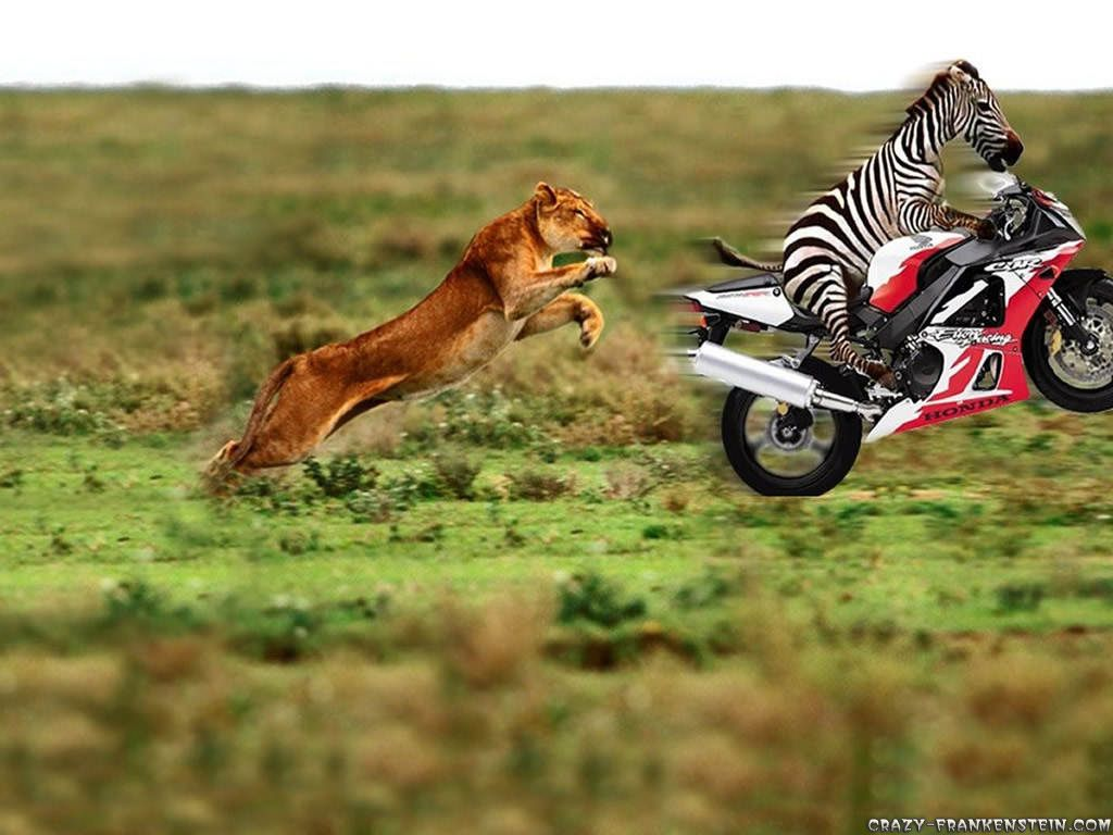 funny animals on motorcycle pics | zebra on motorcycle funny animal best wallpapers