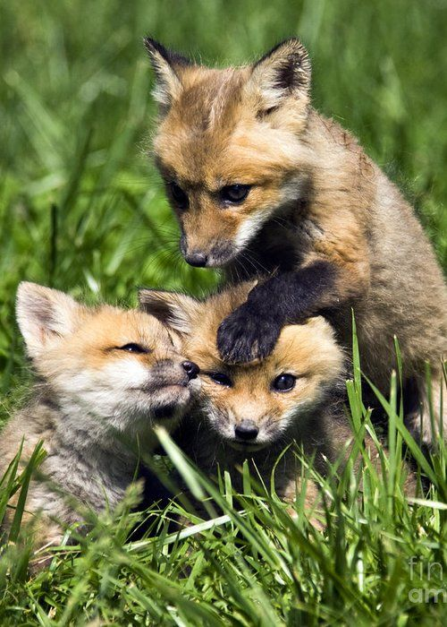 Red Fox Pups For Sale