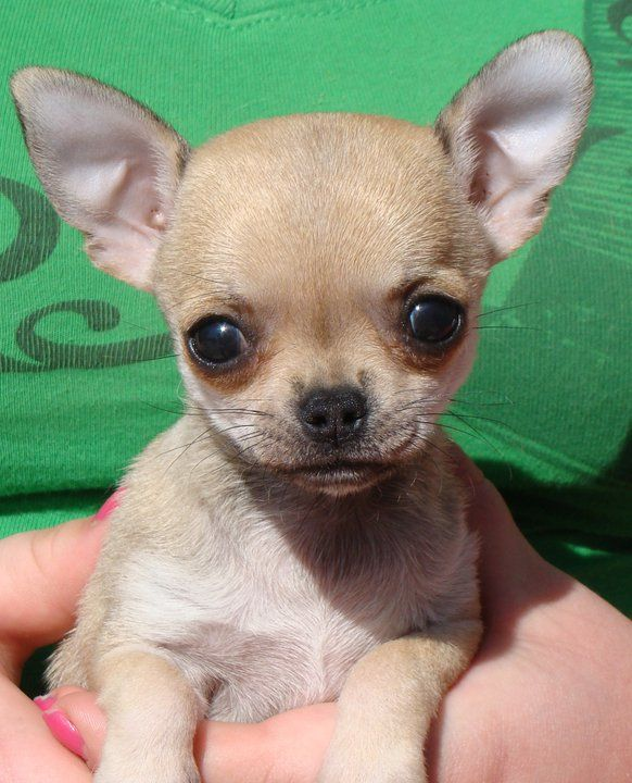 Welcome To The Home Of Bramerita Chihuahuas Breeders Of Champion Chihuahua S Uk Bramerita Ell Fire Chihuahua Breeders Chihuahua Puppies