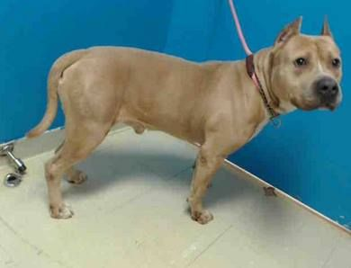 Staten Island Center  CORPORAL - ID#A0973365  MALE, TAN, PIT BULL MIX, 3 yrs