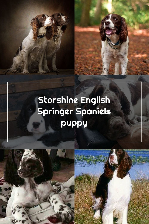 English Springer Spaniel Information Characteristics Facts Names English Springer Spaniel Springer Spaniel Spaniel