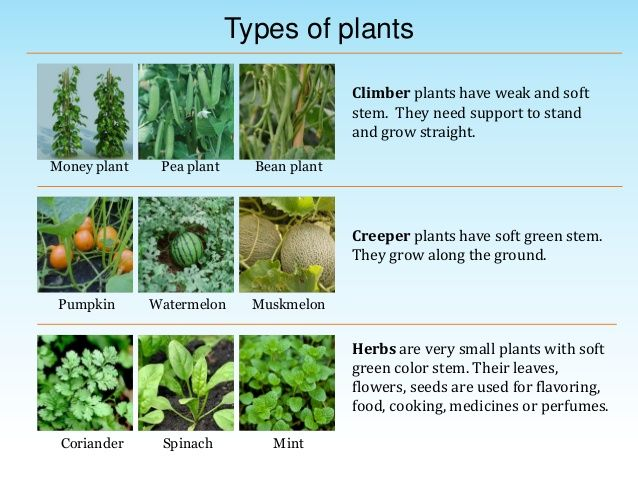 Image Result For Kinds Of Plants With Pictures And Names Herbs Herb Medicinal