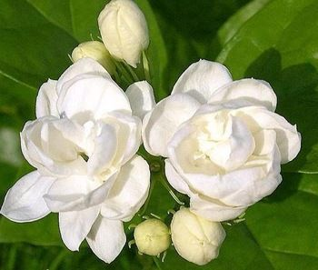 Cambodian Jasmine Flower Google Search Jasmine Flower Delphinium Flowers White Jasmine Flower