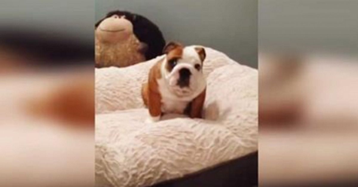 Bulldog Puppy Is Ridiculously Excited About His New Bed Bulldog