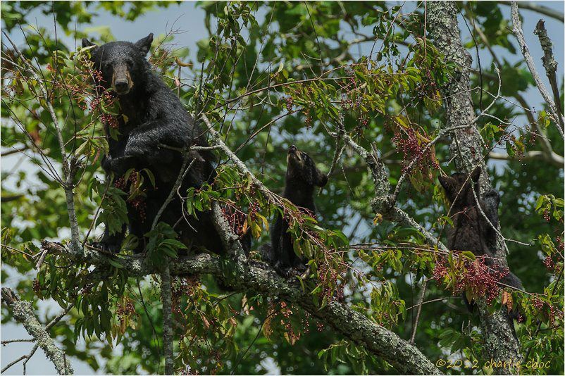 Mom and two of her three cubs eating cherries, Cades Cove ©Charlie Choc