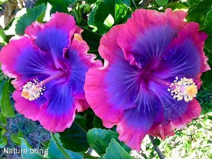 Growing Hibiscus Flower How To Grow Tropical Hibiscus Plant Naturebring Growing Hibiscus Hibiscus Plant Purple Hibiscus