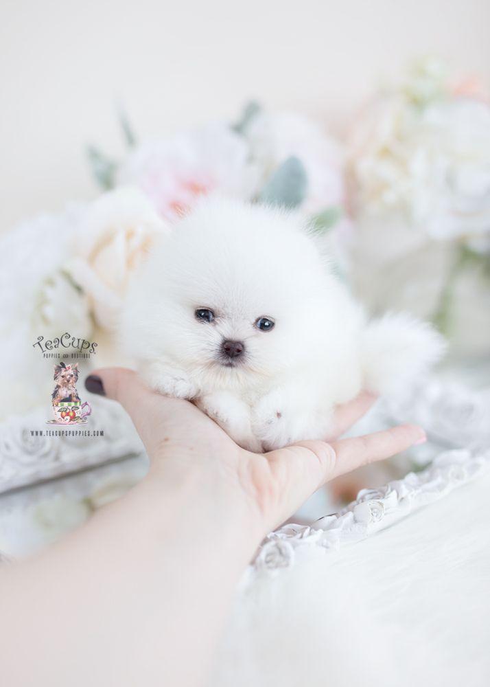white-micro-teacup-pomeranian-puppy-096-b #teacuppomeranianpuppy white-micro-teacup-pomeranian-puppy-096-b #teacuppomeranianpuppy white-micro-teacup-pomeranian-puppy-096-b #teacuppomeranianpuppy white-micro-teacup-pomeranian-puppy-096-b #teacuppomeranianpuppy white-micro-teacup-pomeranian-puppy-096-b #teacuppomeranianpuppy white-micro-teacup-pomeranian-puppy-096-b #teacuppomeranianpuppy white-micro-teacup-pomeranian-puppy-096-b #teacuppomeranianpuppy white-micro-teacup-pomeranian-puppy-096-b #teacuppomeranianpuppy