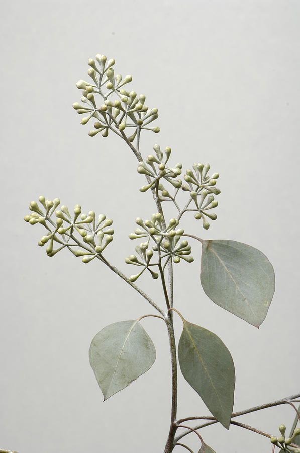Seeded Eucalyptus | Eucalyptus comes in different looks and adds a touch of sage/gray-green to designs.