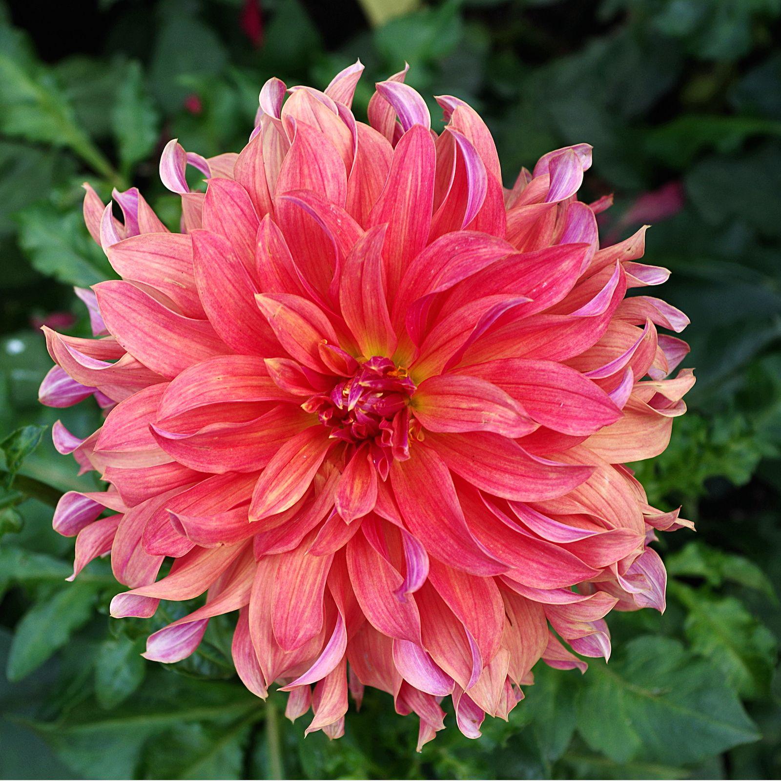 Dahlia Flower In Fiery Sunset Shades Flores Exoticas Dalias Flor De Dalia