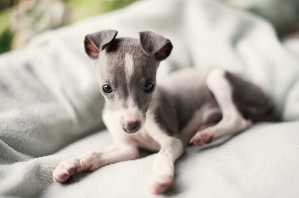 Dogs Antonia Heil Photographer Journalist Cape Town South Africa Berlin Germany Italian Greyhound Puppies Greyhound Puppy Italian Greyhound